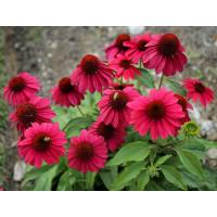 Семена цветов Эхинацея