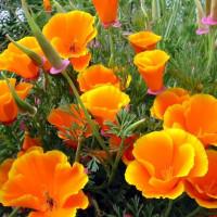 Семена цветов Эшшольция