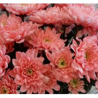 Семена хризантемы