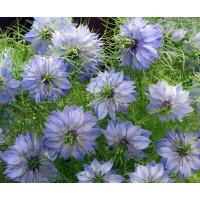 Семена нигеллы