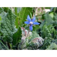 Семена огуречной травы
