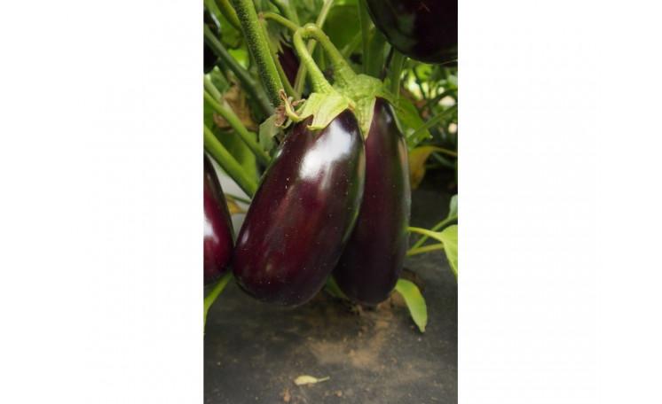 "Баклажан ""Неро"" (Moravo Seed)"