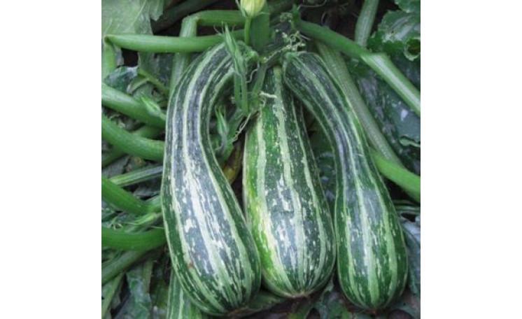"""Кабачок """"Тапир"""" (Moravo Seed)"""