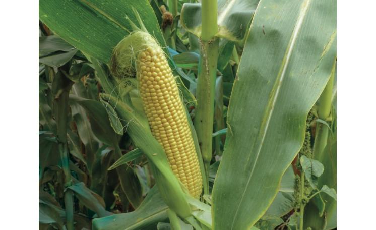 3517 F1 Кукуруза Lark Seeds (США)