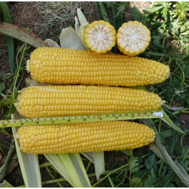 Кукуруза Добрыня F1 (Lark Seeds)