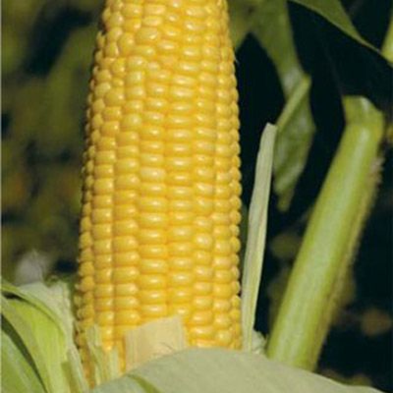 Кукуруза ГХ 2042 F1 GH 2042 (Syngenta)
