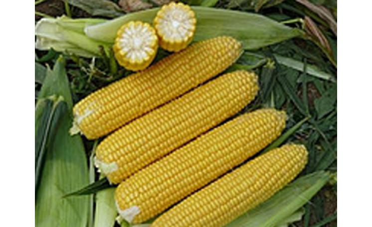 1707 F1 Кукуруза Lark Seeds (США)