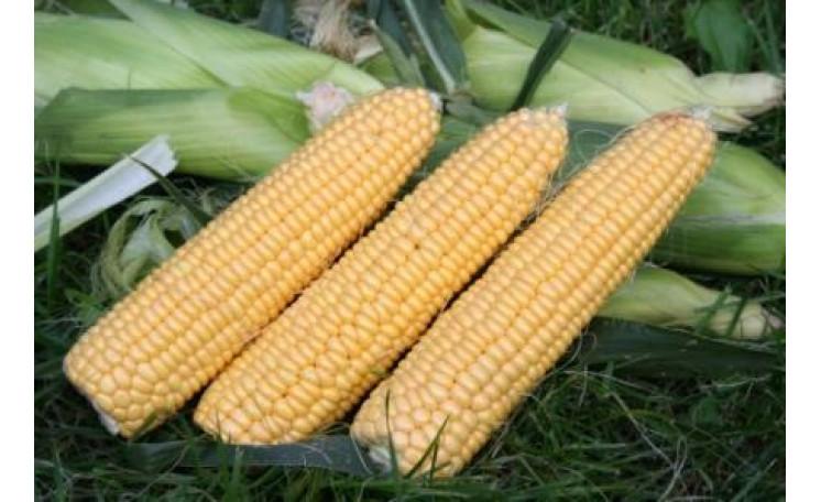 Кукуруза Свит Имидж (Agri Saaten)