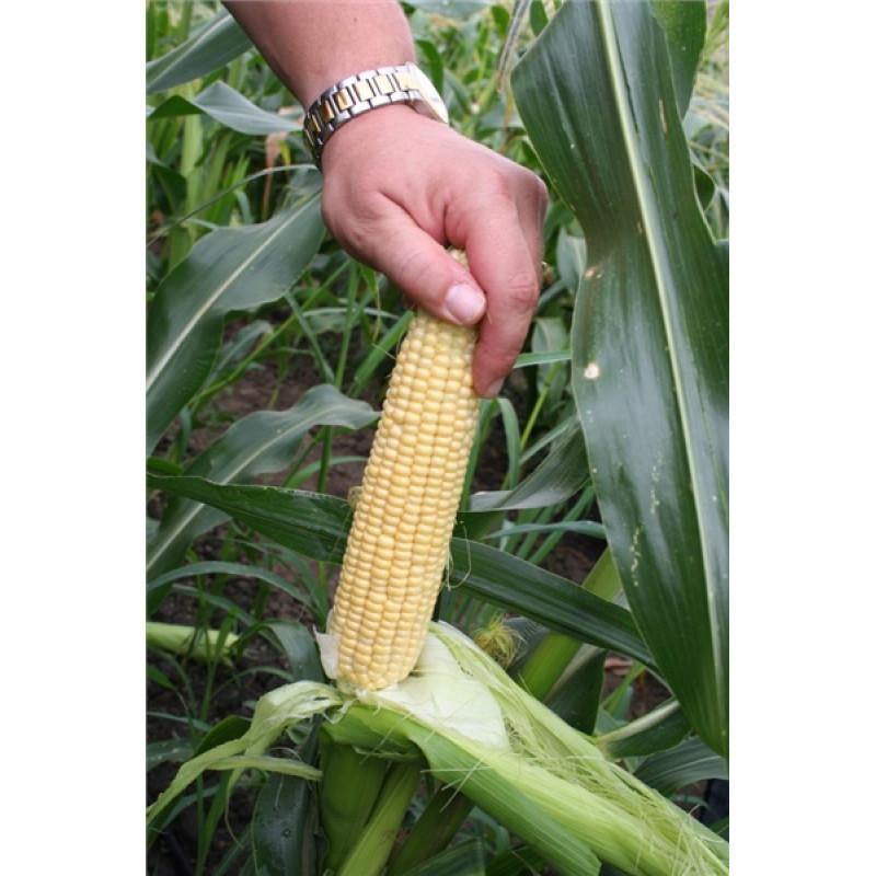 Кукуруза Свит Наггет F1 (Agri Saaten)