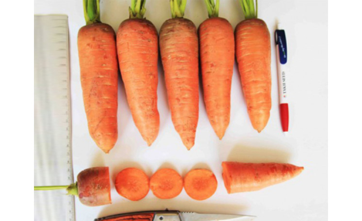 Морковь Танжерина F1