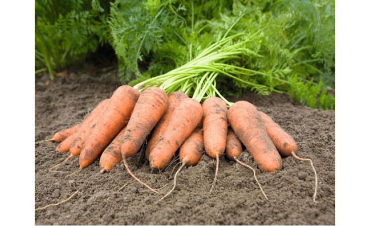 Морковь Карини