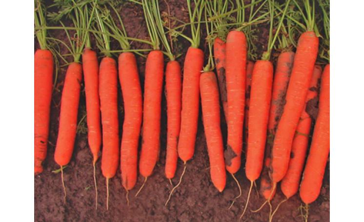 Морковь Йитка F1