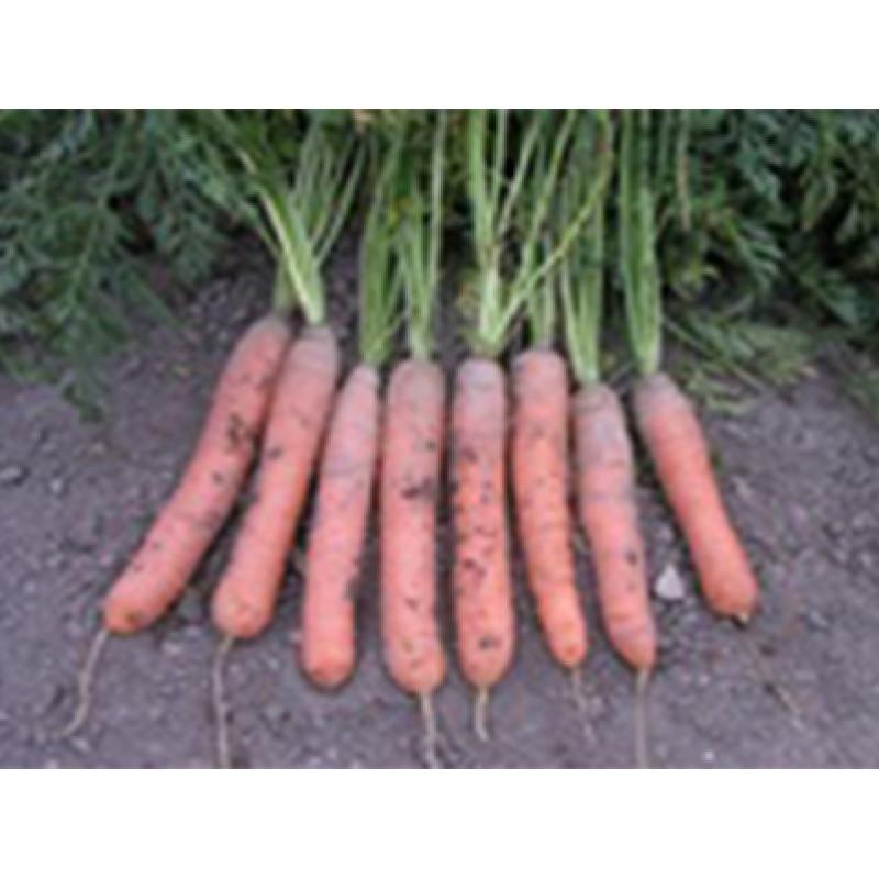 Морковь Краска