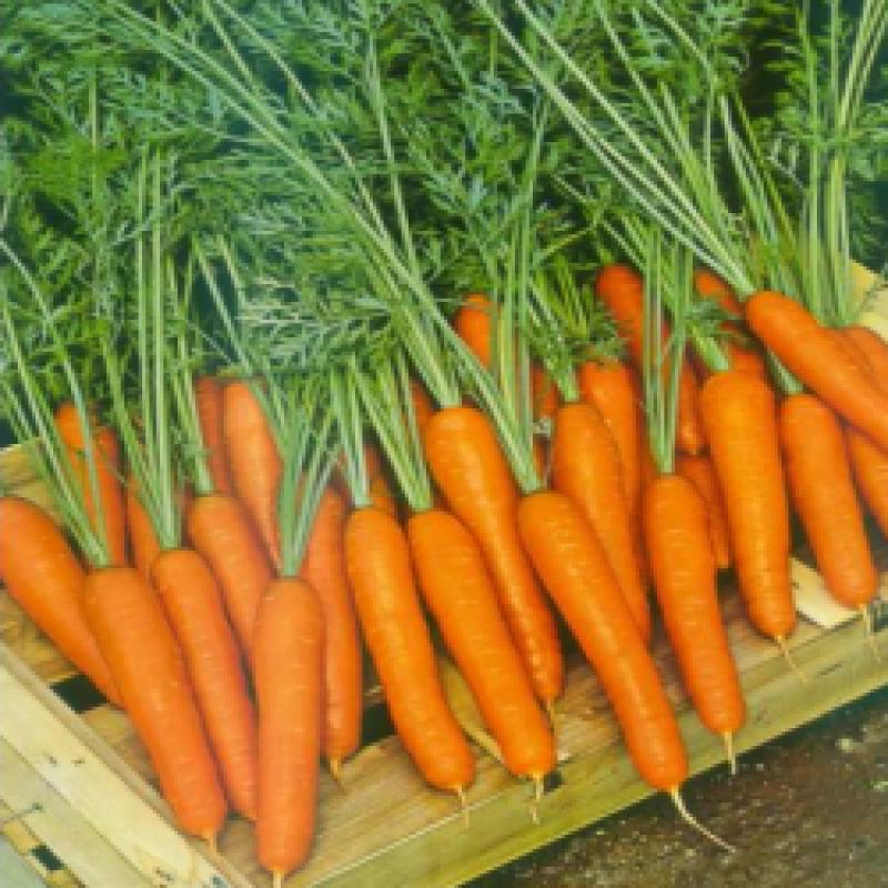 Морковь Саманта F1