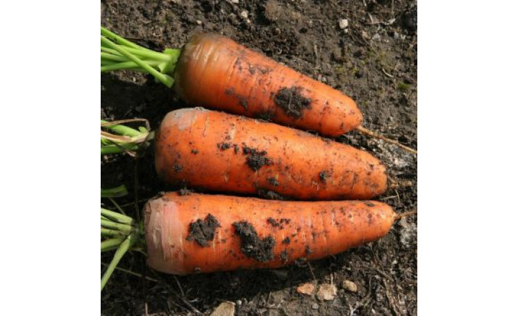 Морковь Шамарэ