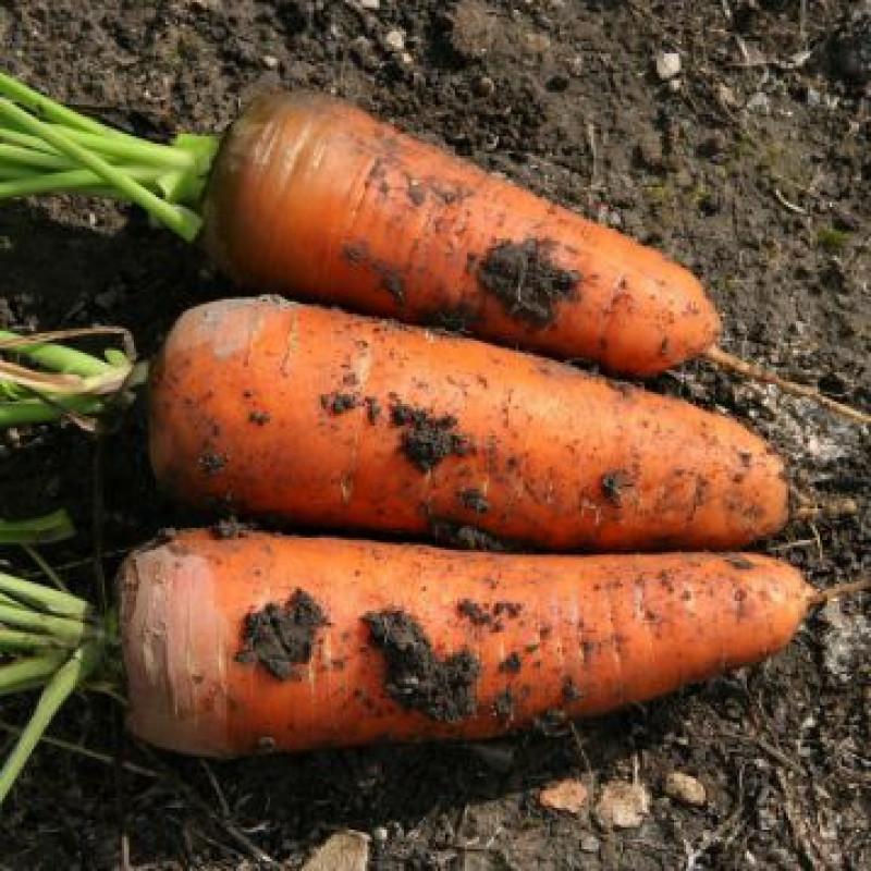 Шамарэ Chamare Морковь