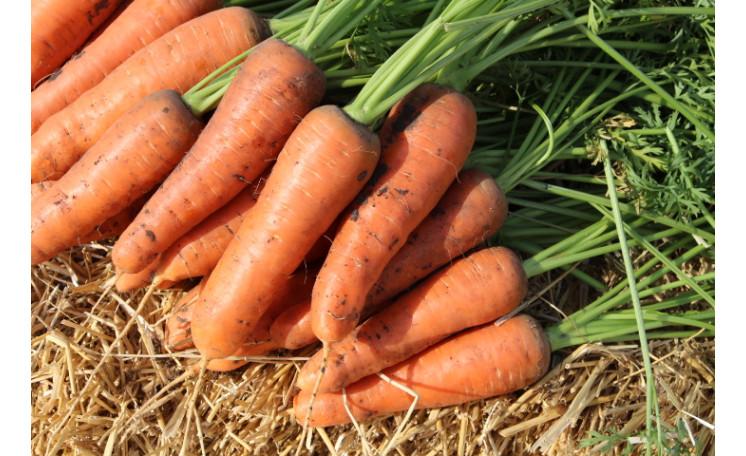 Морковь Шантане 2-Комет