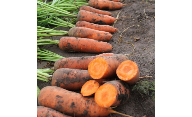 Морковь Нью Курода