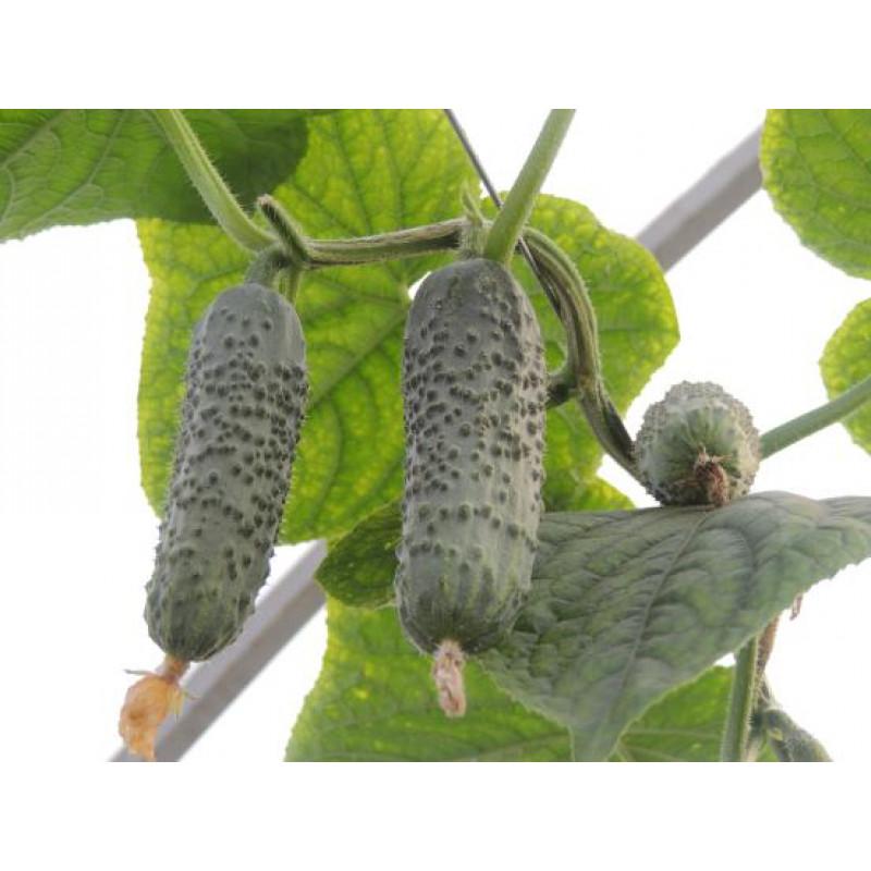 Огурец Бакшиш F1 (Libra Seeds)