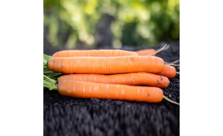 Морковь PL 316 F1