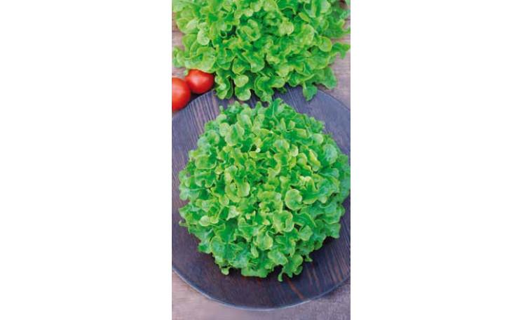 Салат Балконный зеленый Семена Украины