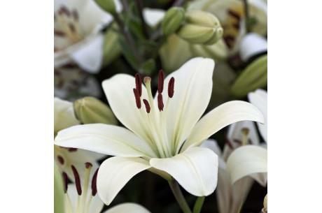 Самые ароматные лилии