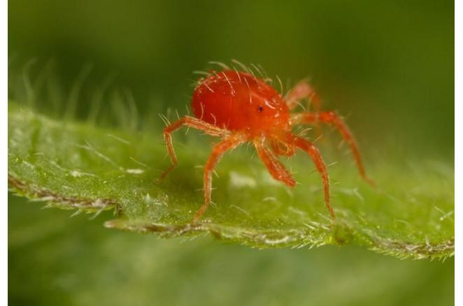 Боротьба з павутинним кліщем