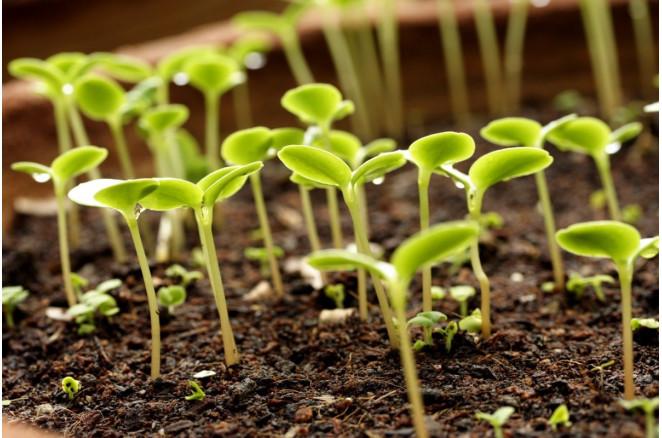 Терміни посіву насіння на розсаду