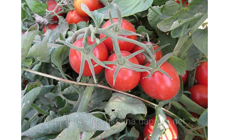 2206 F1 Томат Lark Seeds (США)