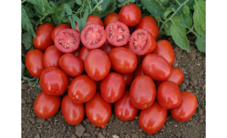 3402 F1 Томат Lark Seeds (США)