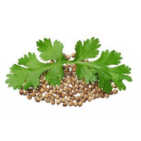 Семена Кориандра и кинзы