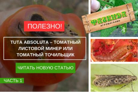 Tutaabsoluta – томатный листовой минер или томатный точильщик.