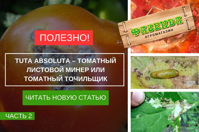 Tuta absoluta - томатний листової мінер або томатний точильщик.