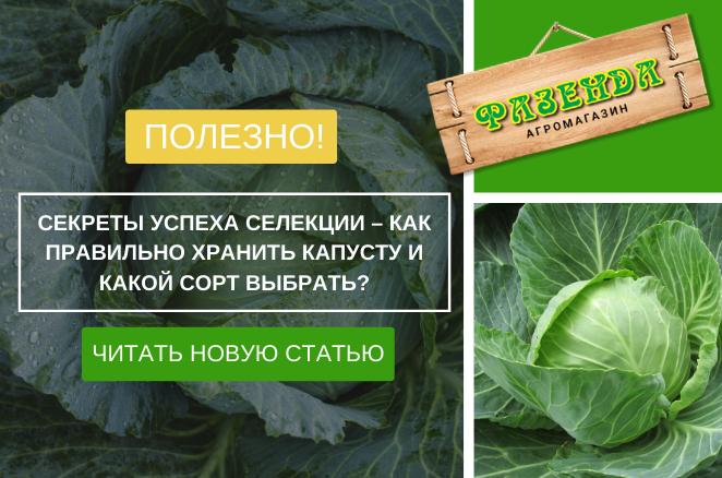 Секрети успіху селекції - як правильно зберігати капусту і який сорт вибрати?