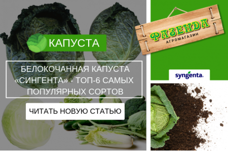 Белокочанная капуста «Сингента» - ТОП-6 самых популярных сортов