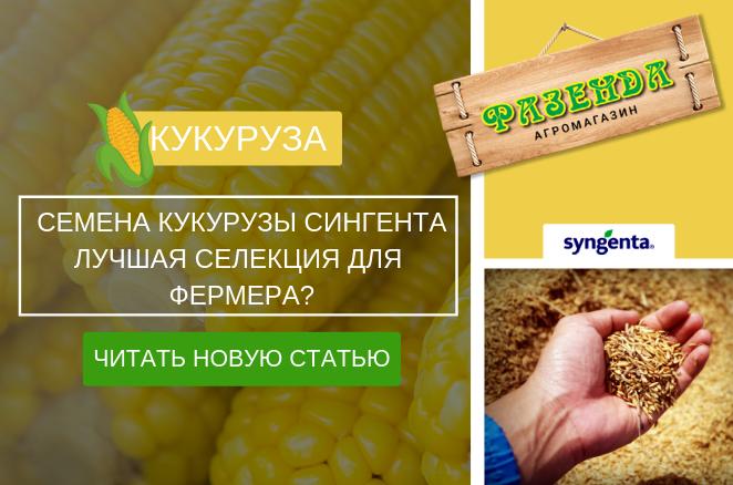 Семена кукурузы Сингента – лучшая селекция для фермера?