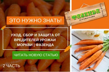 Выращивание моркови: как посадить морковь 2 | Фазенда