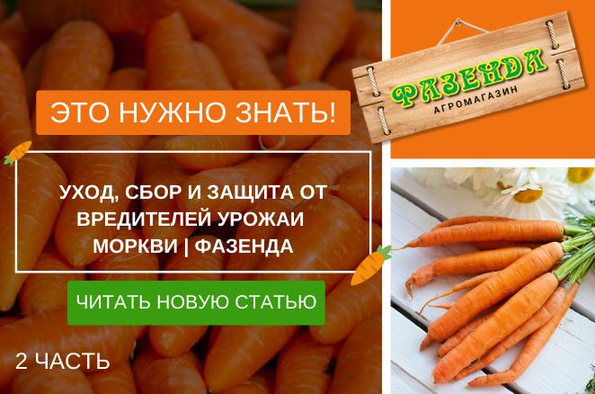 Вирощування моркви: як посадити морква 2 | Фазенда