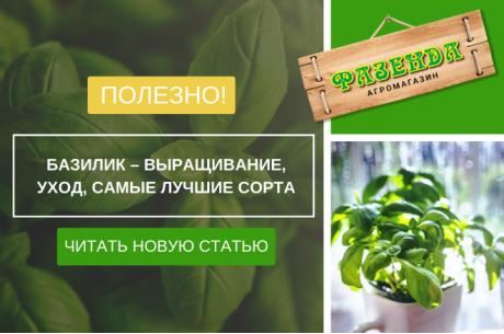 Базилик – выращивание, уход, самые лучшие сорта