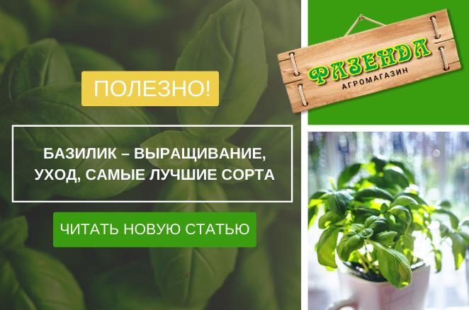 Базилік - вирощування, догляд, найкращі сорти