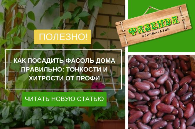 Как посадить фасоль дома правильно: тонкости и хитрости от профи