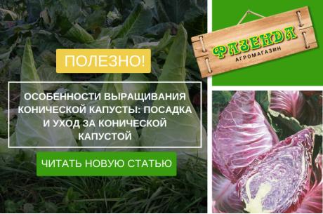 Особенности выращивания конической капусты