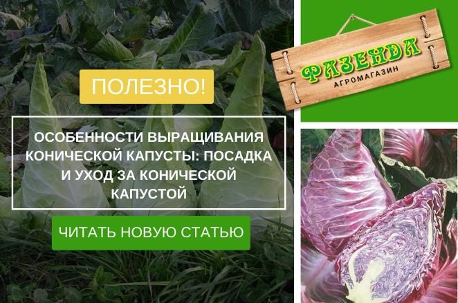 Особливості вирощування конічної капусти