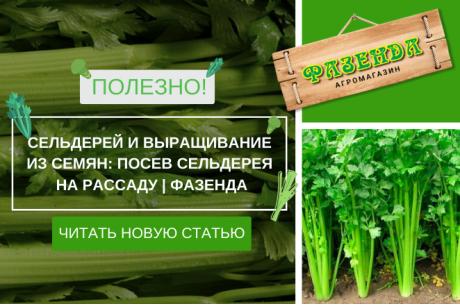 Сельдерей и выращивание из семян: посев сельдерея на рассаду | Фазенда
